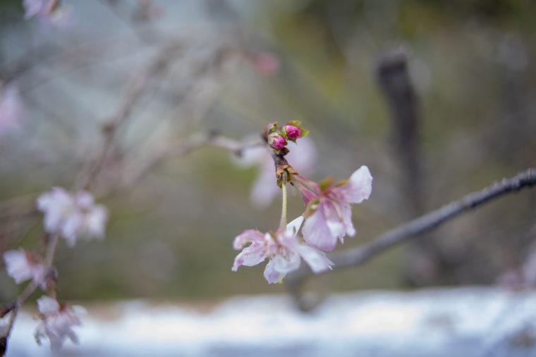 コテージさくらの里の十月桜のツボミ