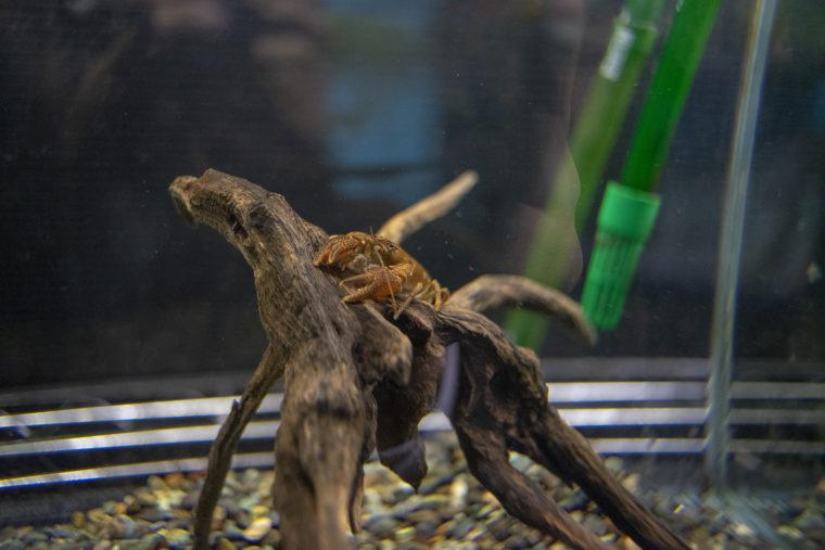 千歳水族館のニホンザリガニ