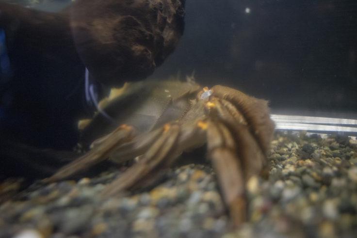 千歳水族館のモクズガニ