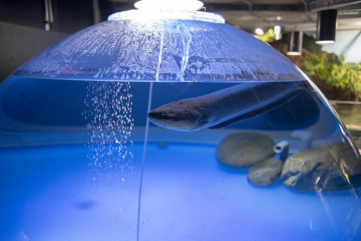 千歳水族館のデンキウナギ