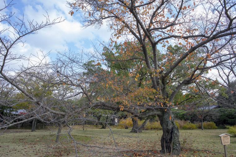 桜前線標本木