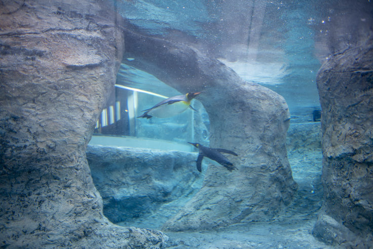 旭山動物園のキングペンギン水槽横から