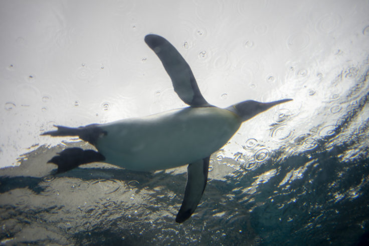 旭山動物園の空飛ぶキングペンギン