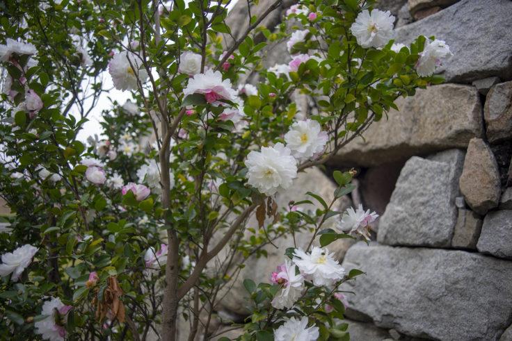 瀬戸大橋記念公園の山茶花
