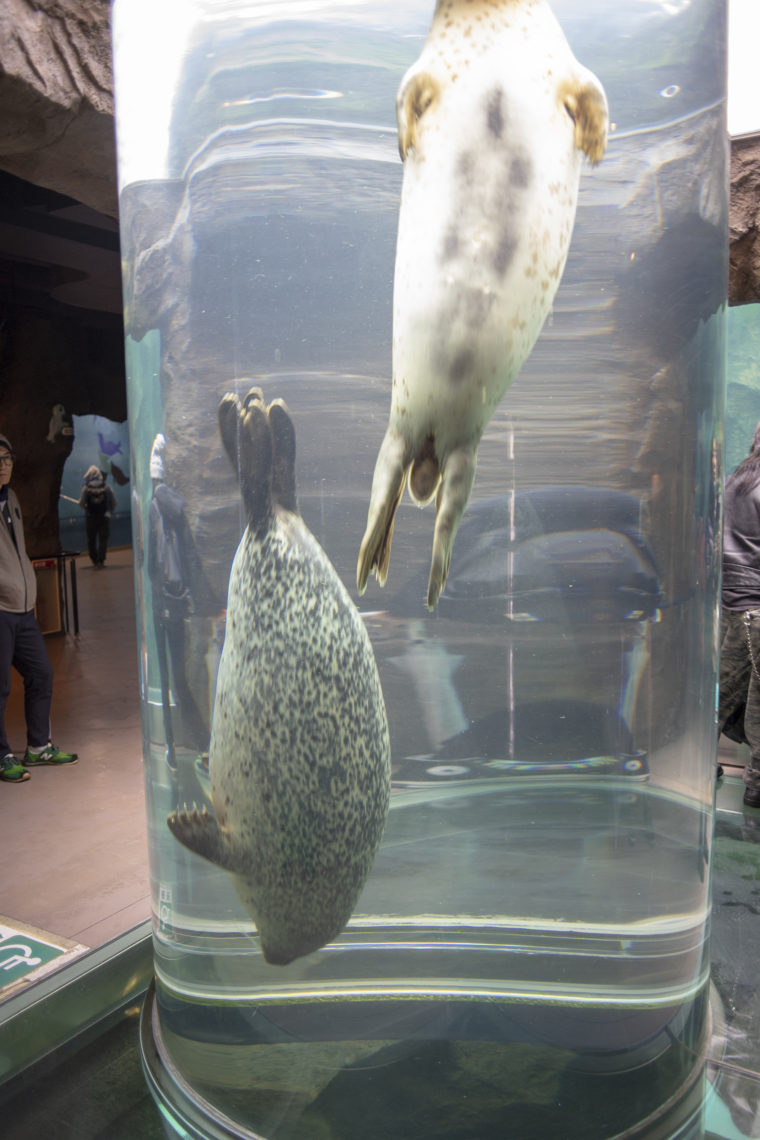 旭山動物園のゴマフアザラシ