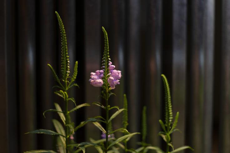 ハナトラノオ咲き始め