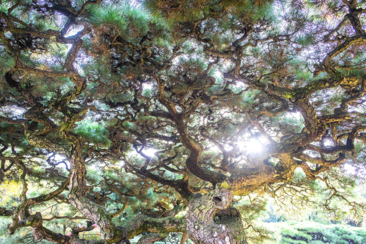 栗林公園の松