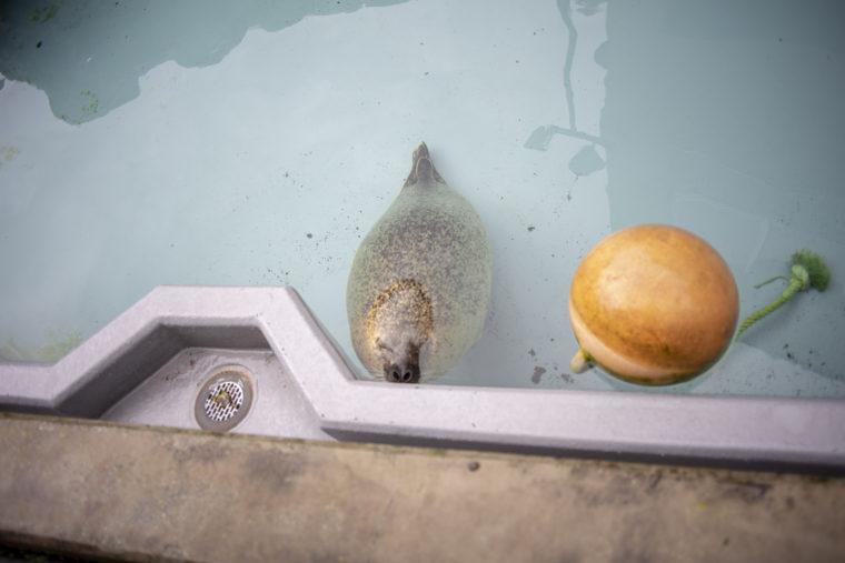 旭山動物園のお昼寝ゴマフアザラシ
