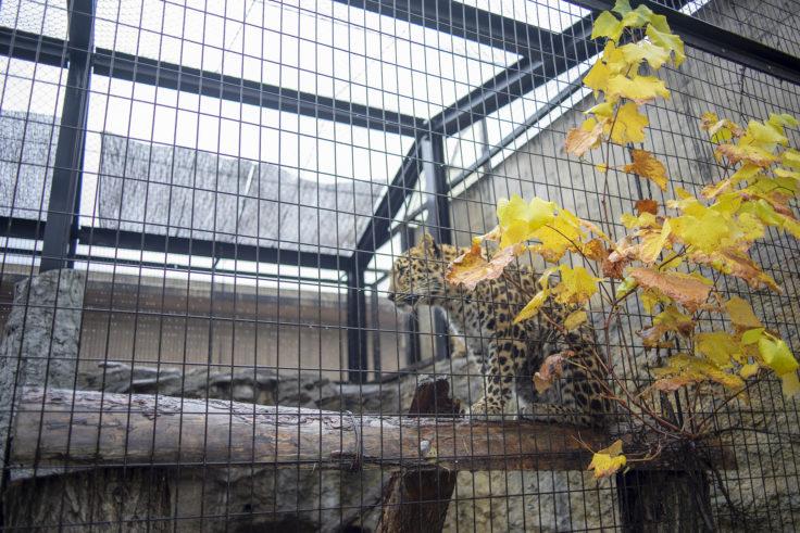 旭山動物園のアムールヒョウ