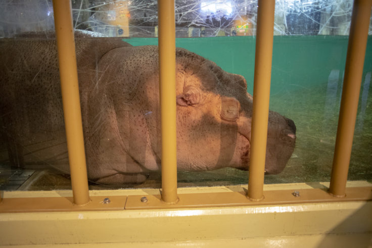 旭山動物園の寝ているカバ