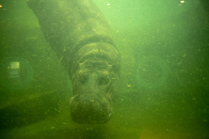 旭山動物園の泳いでいるカバ