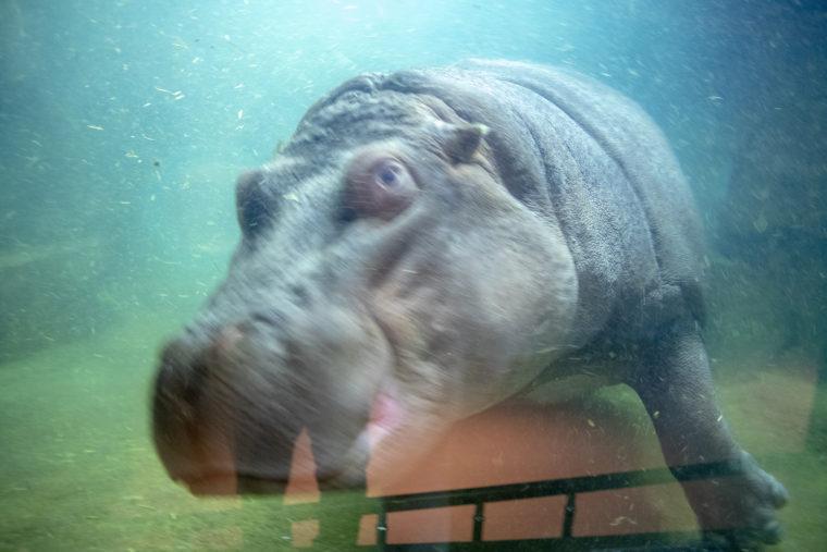旭山動物園の泳いでいるカバ2