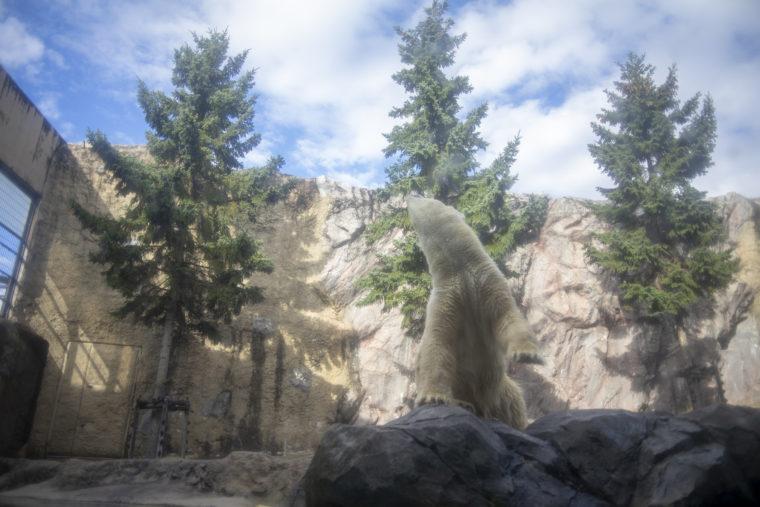 旭山動物園のホッキョクグマ2