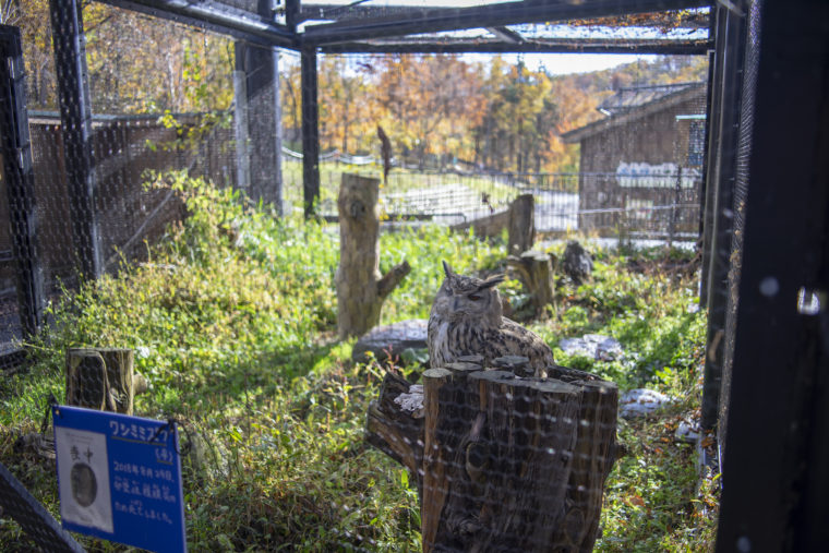 旭山動物園のワシミミズク