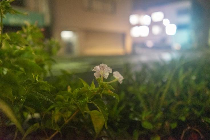 白いオシロイバナ