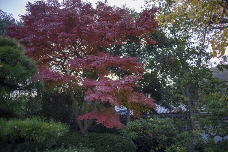 栗林公園紅葉前線標本木