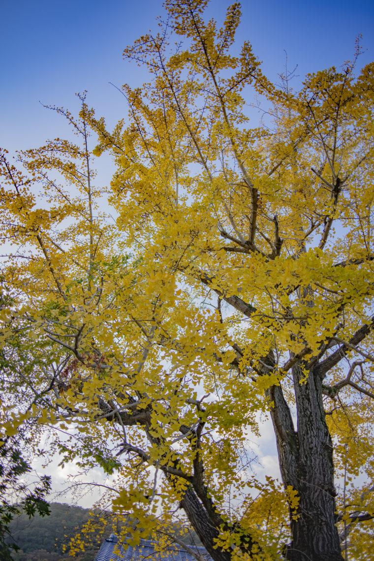 栗林公園のイチョウ標本木