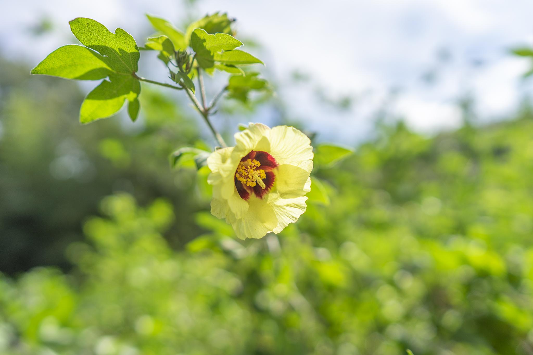 ワタの花言葉と誕生花