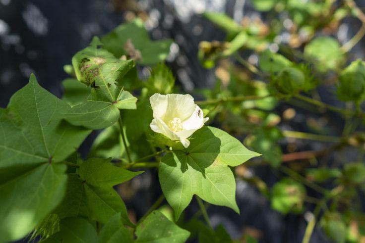 ワタの花3