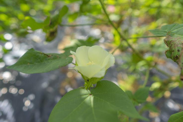 ワタの花4