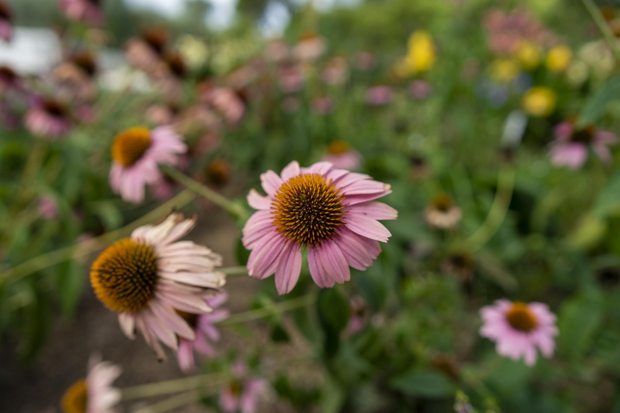 エキセアナの花言葉と誕生花