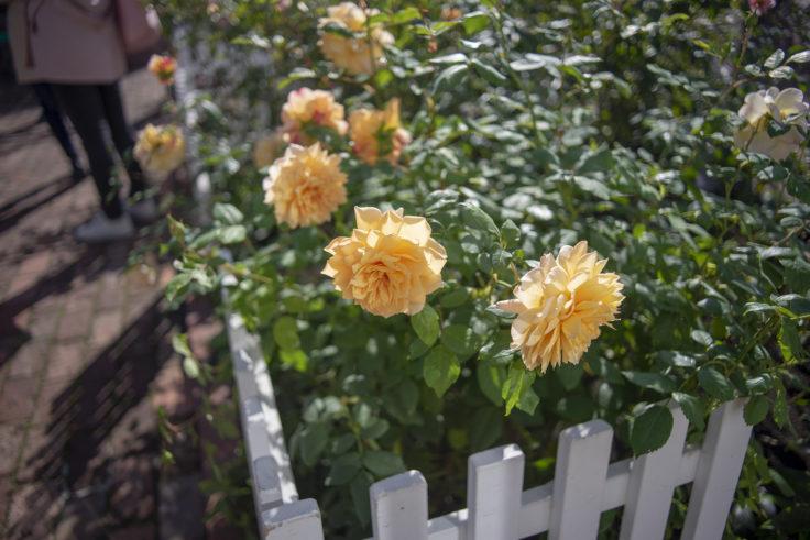 白い恋人パークのバラ3