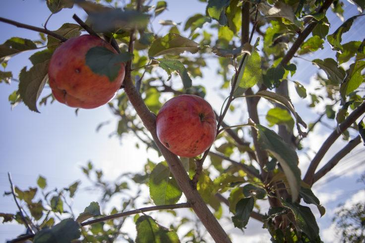 札幌市の街路樹りんご