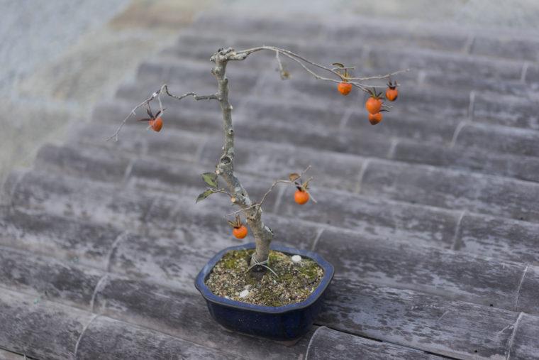 讃州井筒屋敷の盆栽