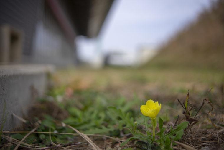 秋に咲いたツキミソウ