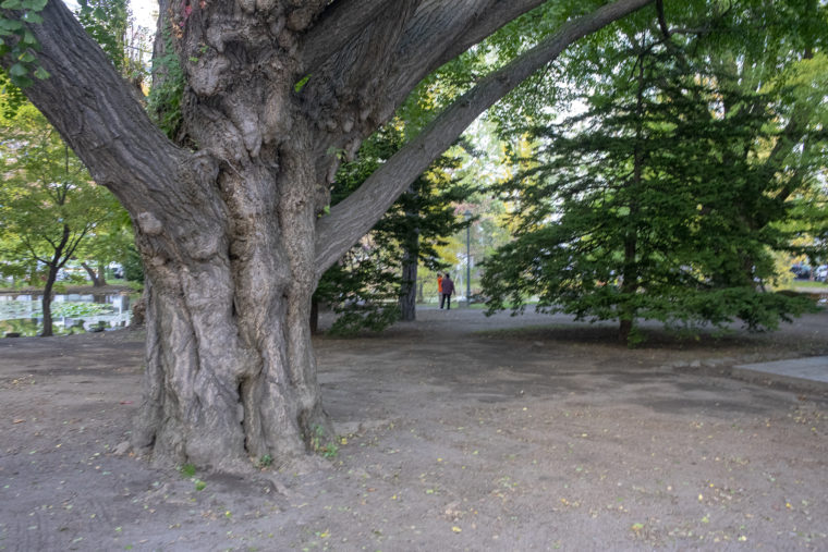 赤れんが庁舎 (北海道庁旧本庁舎)の木