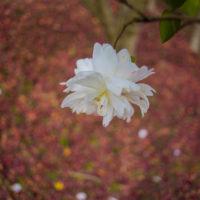 ぼうけんパークの山茶花4
