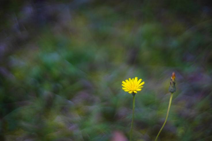 秋に咲いたタンポポ