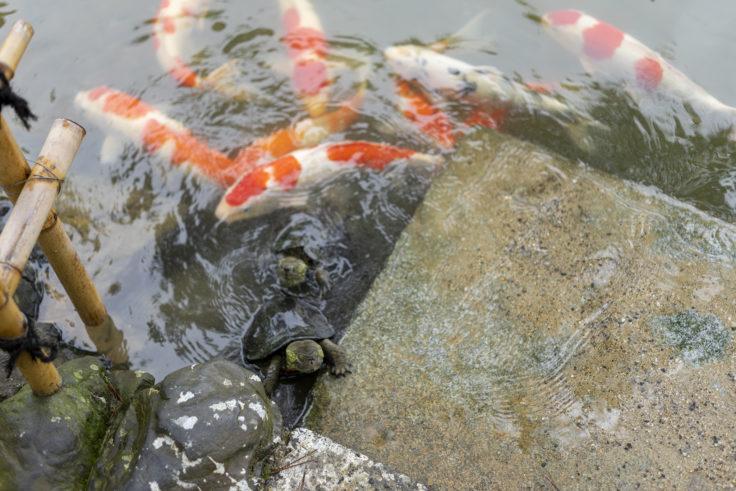 栗林公園の鯉と亀