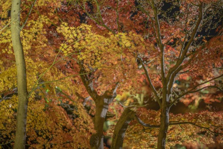 楓岸の紅葉ライトアップ2