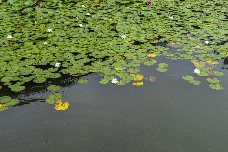 涵翠池(かんすいち)のスイレン