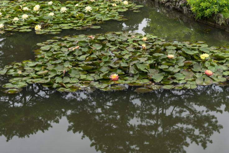 潺嵈池(せんかんち)のスイレン