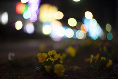 夜に咲くパンジー