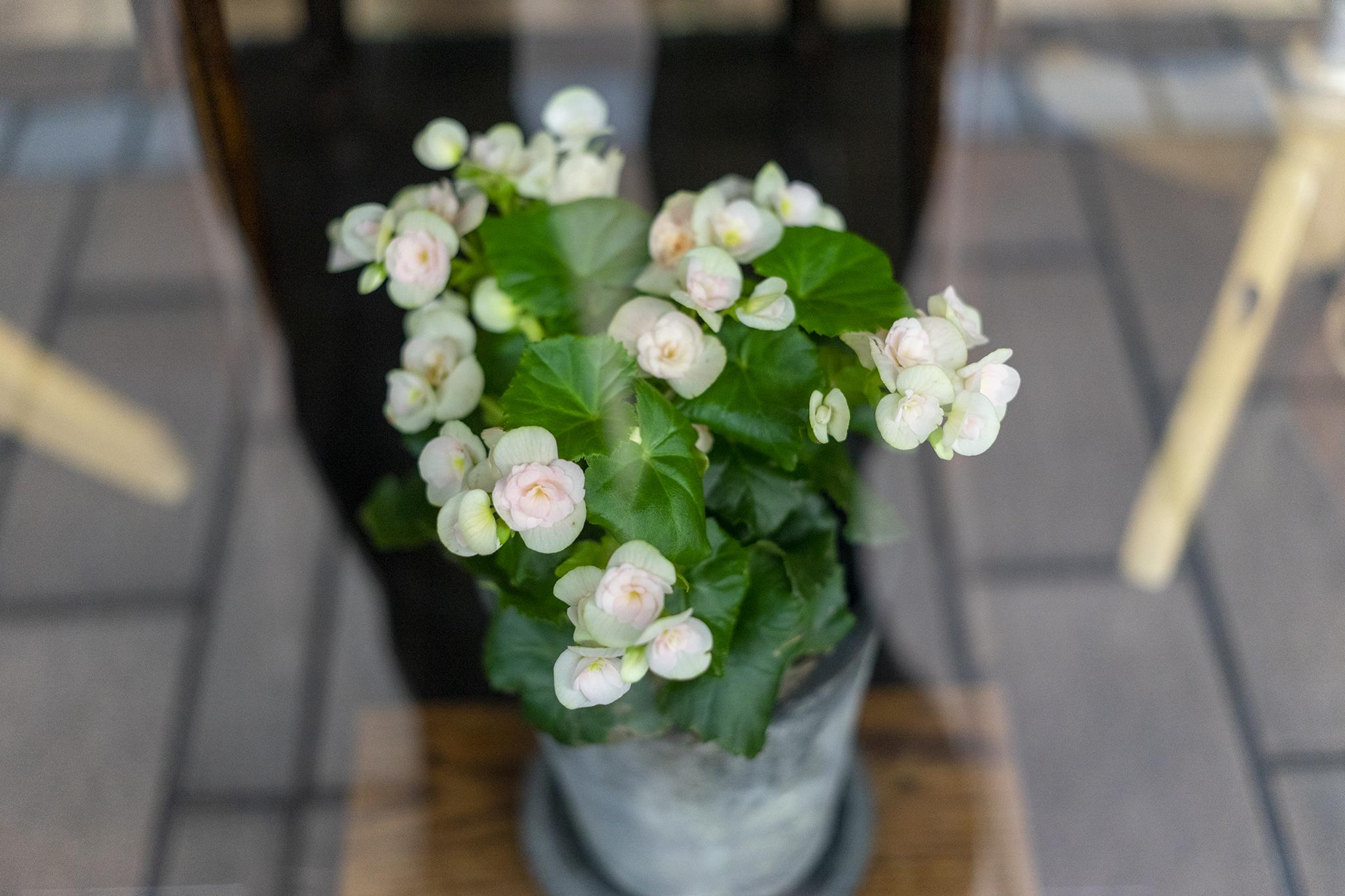 ベゴニアの花言葉と誕生花