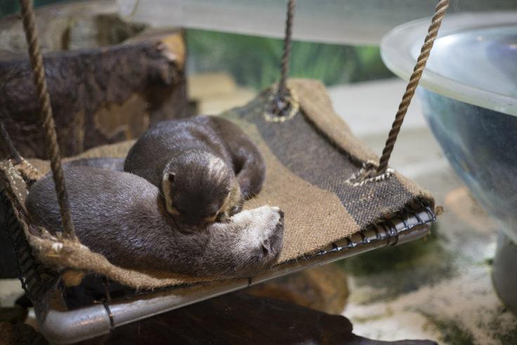 新屋島水族館のカワウソ