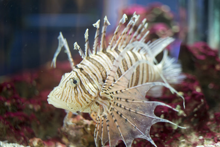 新屋島水族館のカサゴ