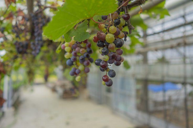 Caju×果樹のブドウ