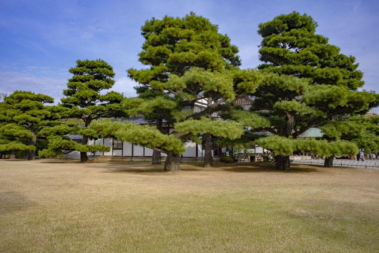 檜御殿跡の松