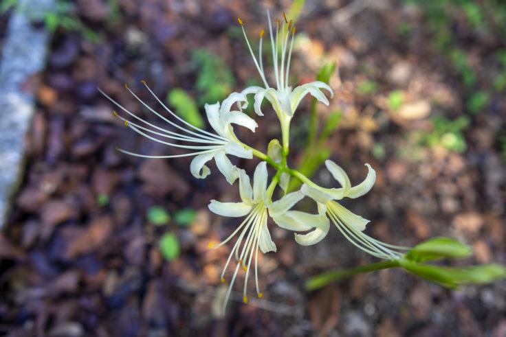 公渕森林公園の白いヒガンバナ