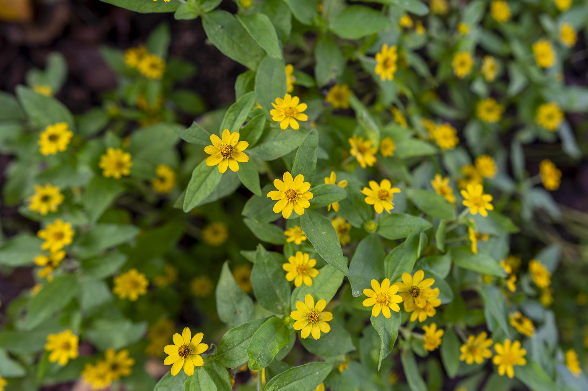 メランポジウムの花言葉と誕生花
