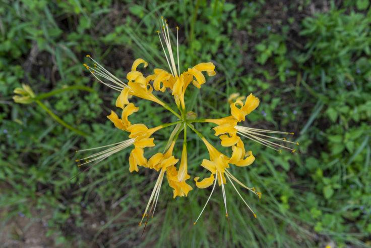 みろく自然公園の黄色のヒガンバナ
