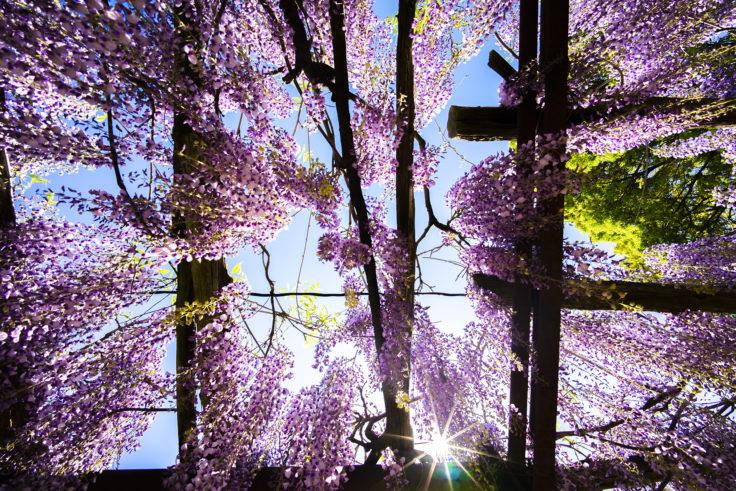 岩田神社の孔雀藤