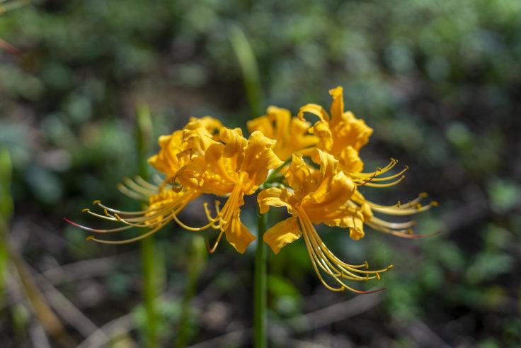 みろく自然公園の黄色のヒガンバナ3