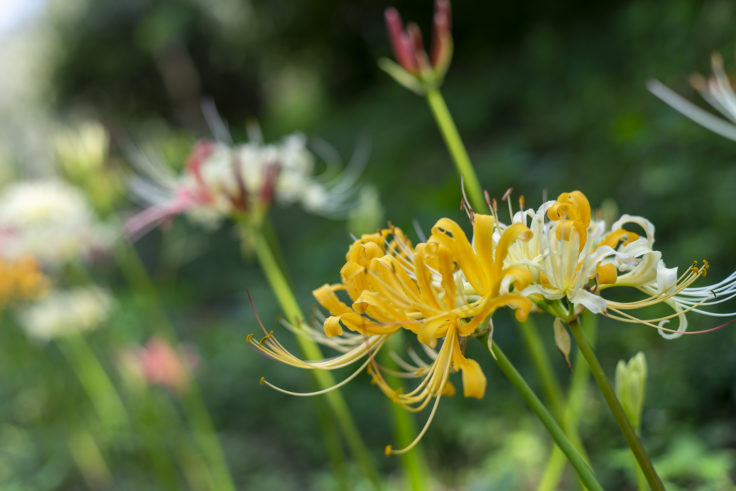 みろく自然公園の黄色のヒガンバナ6