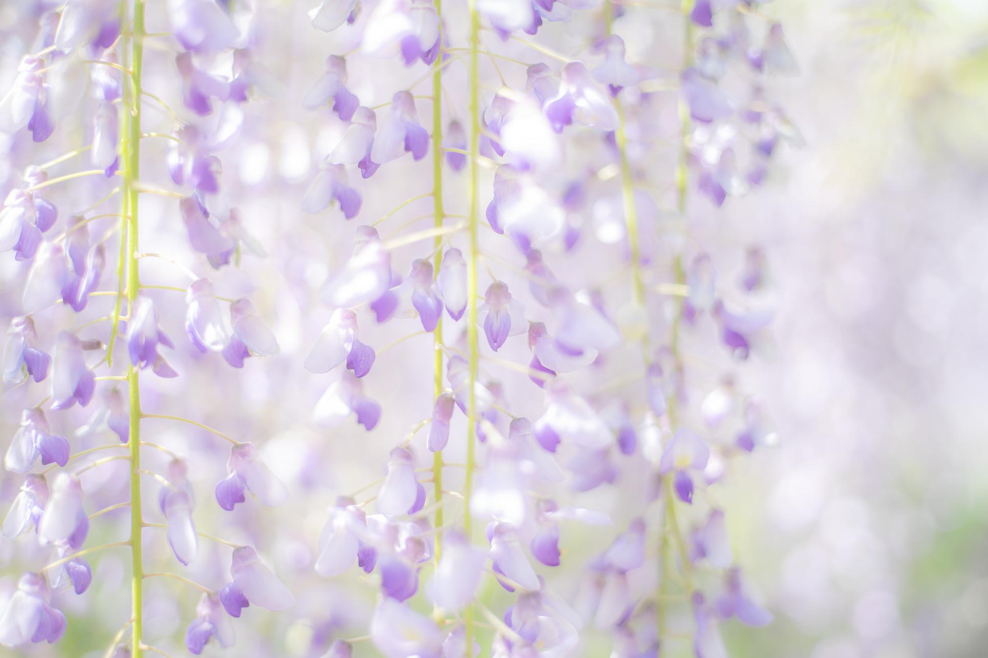 『岩田神社の藤まつり2018』香川県自然記念物「孔雀藤」