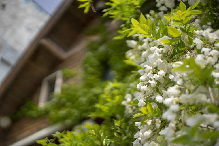 三本松駅の白い藤の花